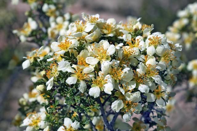 Cliffrose (Purshia mexicana)