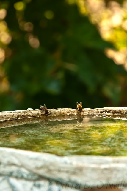 Bees Drinking Water 6