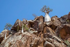 Adenium socotranum, commonly known as bottle tree, Socotra, Yemen