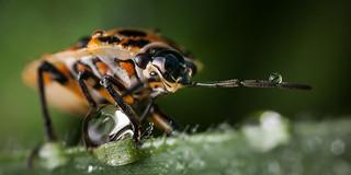Eurydema sp. | by macropoulos
