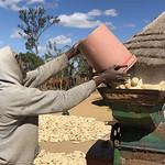 Pinnot Karwizi fills a mechanized sheller with dried maize cobs