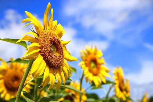 yellow blue flower flowers sunflower 岩手県 矢巾町 煙山ひまわりパーク