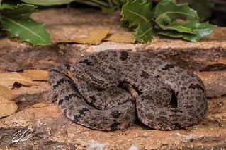 Mottled Rock Rattlesnake   by Frank Portillo