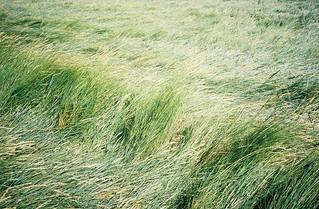 Sea of grass, Pill Foreshore | by knautia