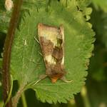 Messingeule (Artenkomplex) (Diachrysia chrysitis/stenochrysis) in der Saarn-Mendener Ruhraue