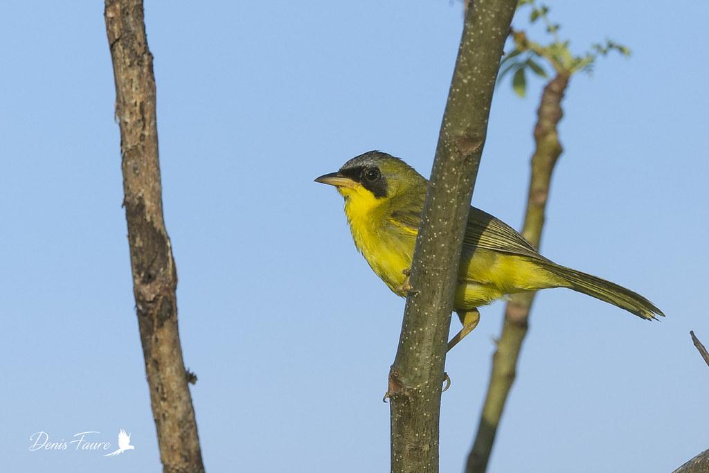 Paruline équatoriale - Geothlypis aequinoctialis - Masked Yellowthroat