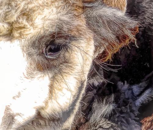 alpaca animal animals tiere eyes augen fell fur furry lashes eyelashes augenwimpern textures texturen texture textur topaz topazstudio outdoor 7dwf