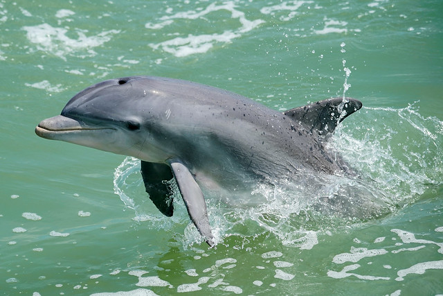 Dolphin - Naples Florida