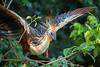 Hoatzin (Opisthocomus hoazin) by Sergey Pisarevskiy