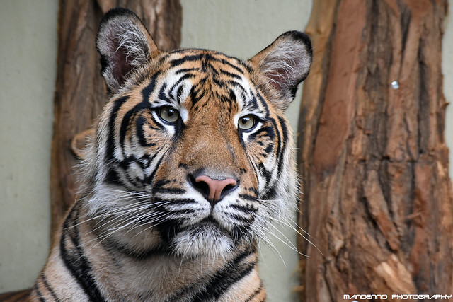 Sumatran Tiger - Zoo Jihlava