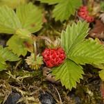 Wald-Erdbeere (Wild Strawberry, Fragaria vesca)