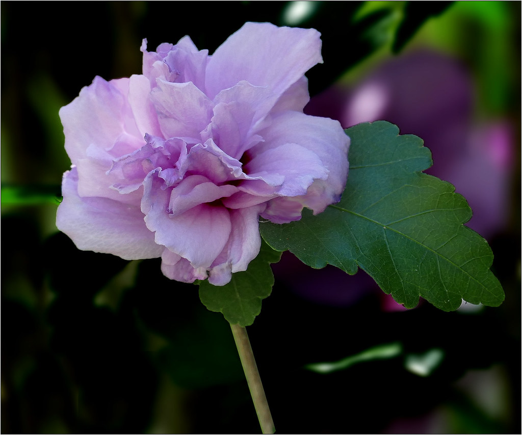 Rose Of Sharon Double Purple Althea Hibiscus Syriacus Flickr