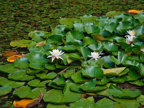 Lotus leaves and flowers on lake surface   by Ciddi Biri