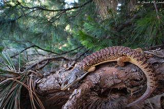 Shasta Alligator Lizard (Elgaria coerulea shastensis) | by Chad M. Lane