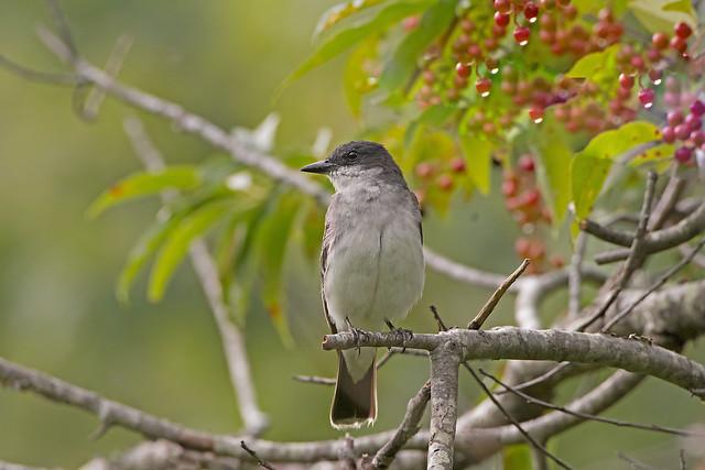 Eastern Kingbird: Tyrannus tyrannus