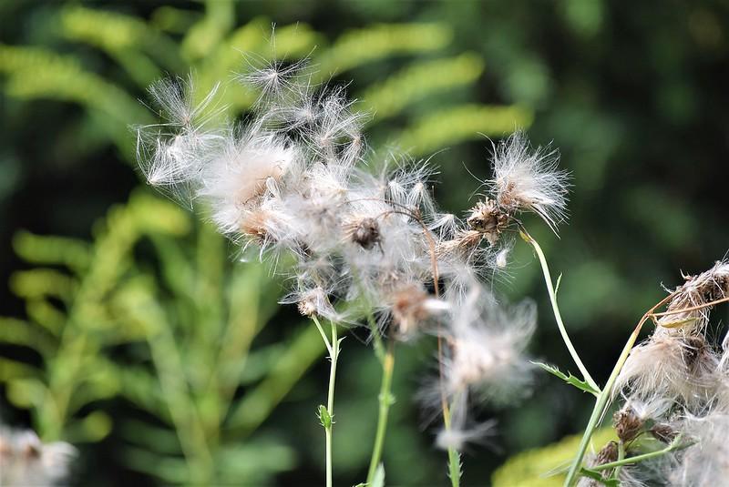 Dandelions 06 (2)