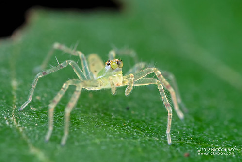Jumping spider (Asemonea sp.) - DSC_7815 | by nickybay