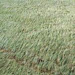 Das Gras zeigt die Fließrichtung der Ruhr