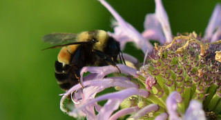 Rusty Patched Bumble Bee | by U.S. Fish and Wildlife Service - Midwest Region