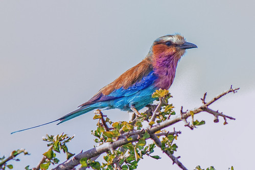 Lilac-Breasted Roller, Maasai Mara | by Ray in Manila