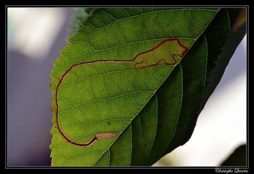 Lyonetia clerkella mine on Prunus cerasi