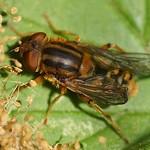 Helle Teichrandschwebfliege (Parhelophilus frutetorum)
