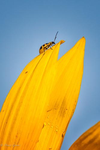 flower mckeebeshers background bug insect macro maryland summer sunflowers sunrise wildlife poolesville unitedstates us