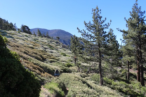 306 A hillside of manzanita and flowering buckthorn with San Bernardino Peak in the background | by _JFR_