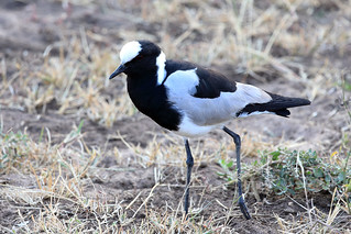 Blacksmith lapwing | by dmmaus