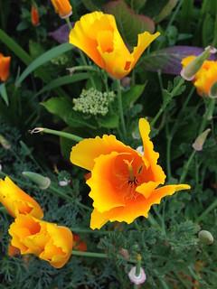 IMG_0755 Bright Orange Flower | by banana razor