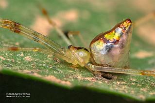 Mirror spider (Thwaitesia sp.) - DSC_9368
