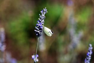 papillon 1 | by dalek_sat