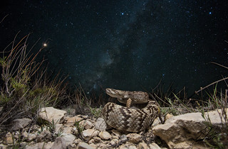 Ornate Black-Tailed Rattlesnake   by Frank Portillo