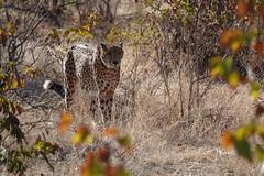 Cheetah, Zimbabwe