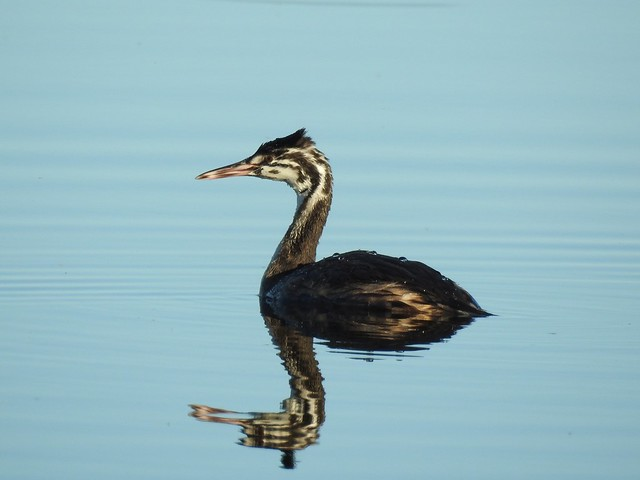 Great Crested Grebe (Podiceps cristatus) juvenile