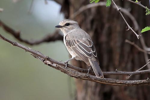 African grey flycatcher   by dmmaus