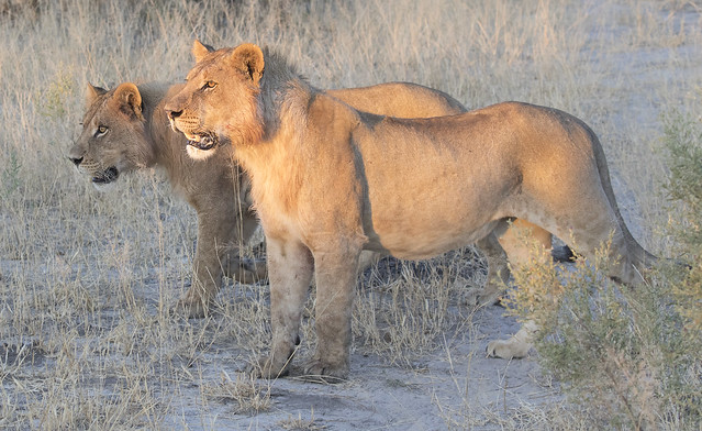 Lions , Botswana, South Africa