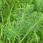 Zypressen-Wolfsmilch (Euphorbia cyparissias) in der Rheinaue Walsum