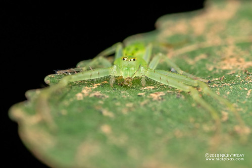 Green crab spider (Oxytate sp.) - DSC_9412 | by nickybay
