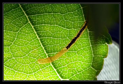 Lyonetia clerkella larva