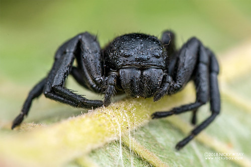 Crab spider (Camaricus cf. nigrotesselatus) - DSC_7009   by nickybay