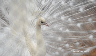 the white peacock! | by lensnmatter