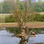 Abgestorbener Baum in der Walsumer Rheinaue