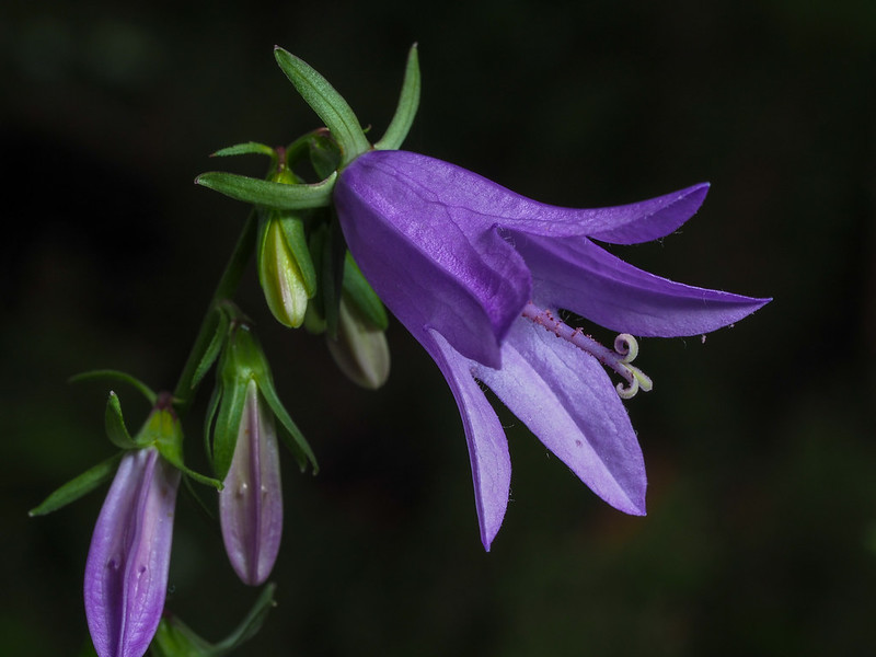 Creeping bellflower (Campanula rapunculoides)