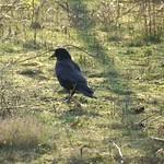 Rabenkrähe (Corvus corone) am Tetraeder