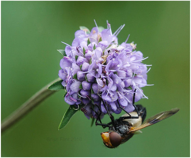 Volucella inflata Hoverfly on Scabiosa flower