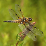 Vierfleck (Four-spotted Chaser, Libellula quadrimaculata)