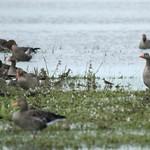 Bruchwasserläufer (Tringa glareola) und andere Vögel in der Rheinaue Walsum