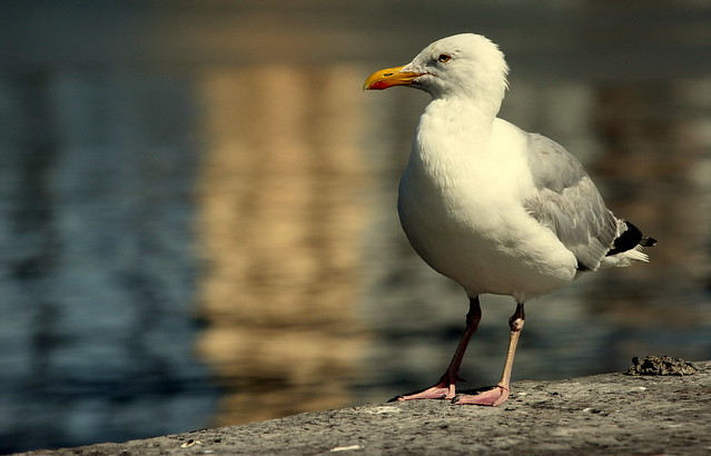 Gull in a golden light