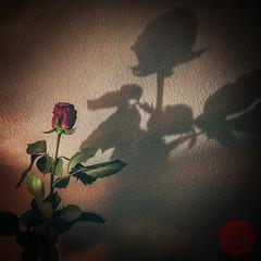 Roses Nightmare